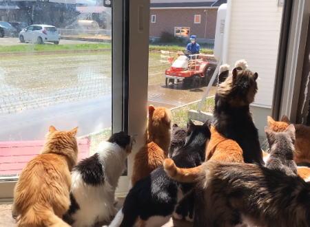 ネッコ「田植えキタ━(゚∀゚)━!」と猫たちが一斉に集まってワクワクする動画が話題にwww