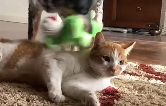 ピコピコと鳴るぬいぐるみを、餅つきみたいに猫に押し付け続ける犬さん→猫さん「うるせぇーにゃ!!」