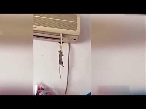 【中国】ん?エアコンからナニかが・・・なん〜だ、エアコンからヘビが出てきてネズミを駆除してくれたのか(安心)