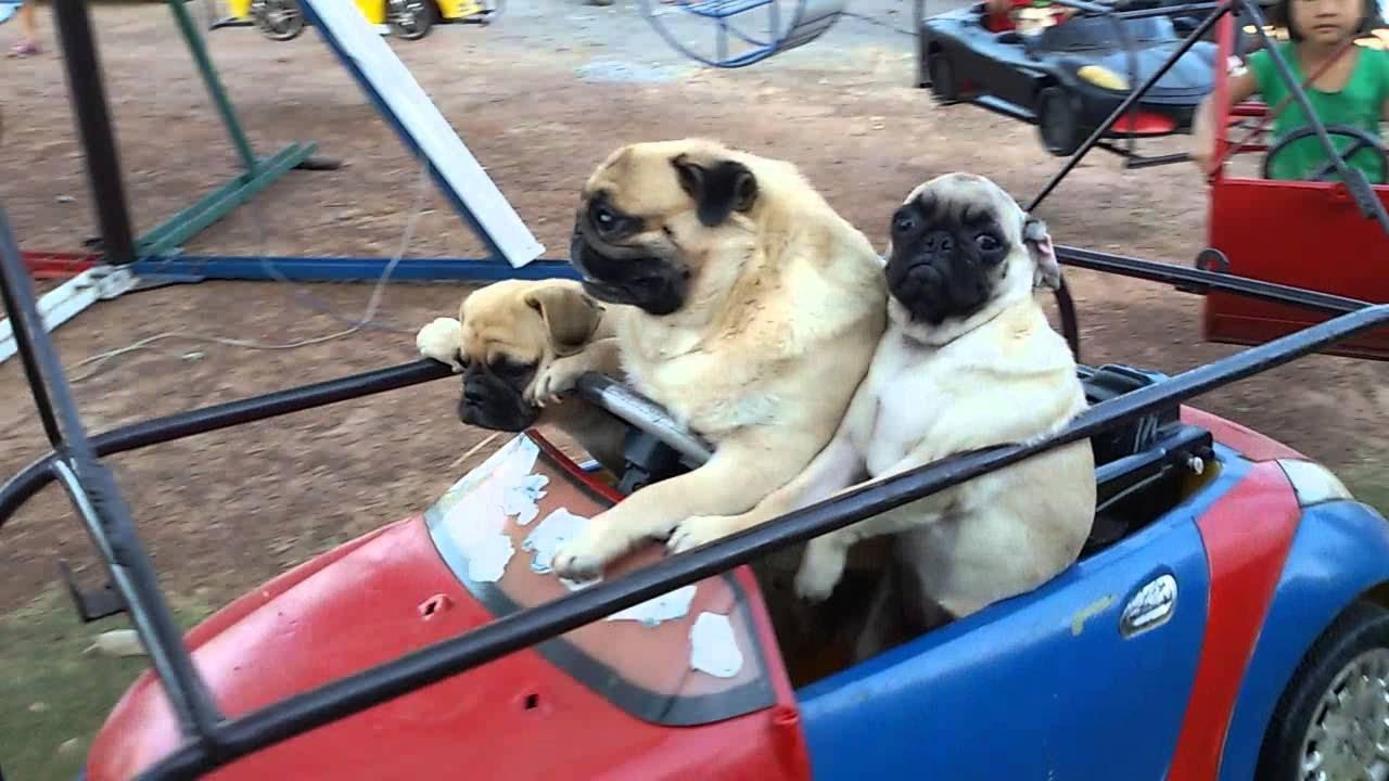 カルーセルに乗って遊ぶ3匹のパグ家族が可愛すぎると話題に