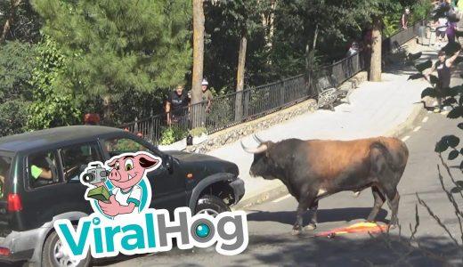 【ブラジル】闘牛さんの恐ろしいパワー!車がボッコボコ