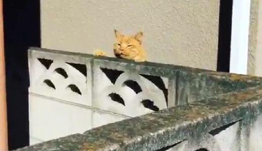 猿も木から落ちるならぬ、猫も塀から落ちるwww